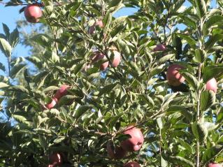 apples-001b.jpg